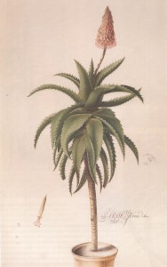 Georg Dionysus Ehret & Jacob Van Huysum Aloe Ferox engraving with watercolour added 1737 SANBI (photograph from the catalogue)